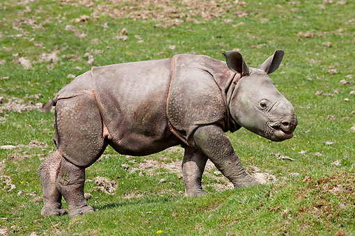 WLD 25 GL0001 01 © Kimball Stock Indian Rhinoceros Baby Exploring In Grass