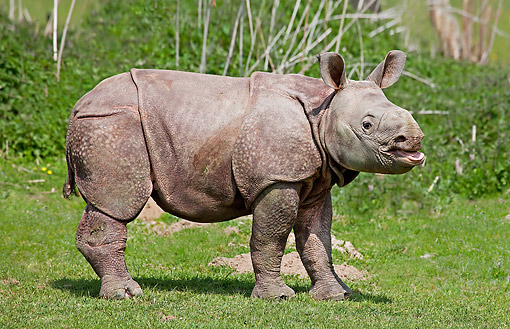 WLD 25 GL0002 01 © Kimball Stock Indian Rhinoceros Baby Exploring In Grass