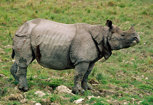 WLD 25 TL0001 01 © Kimball Stock Profile Of Indian Rhinoceros Standing On Grass