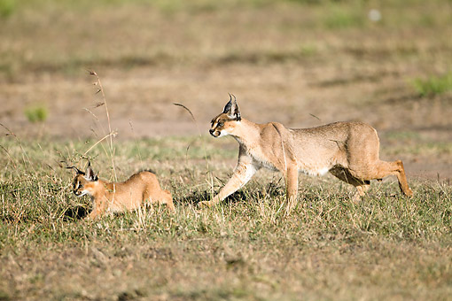 WLD 26 MC0001 01 © Kimball Stock Caracal With Young Walking Across Grassland In Masai Mara Game Reserve, Kenya
