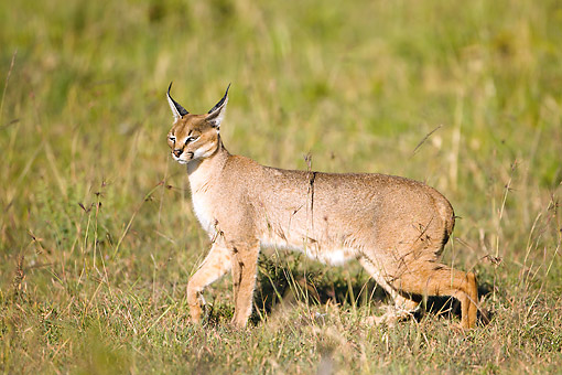 WLD 26 MC0002 01 © Kimball Stock Caracal Walking In Grass In Masai Mara Game Reserve, Kenya