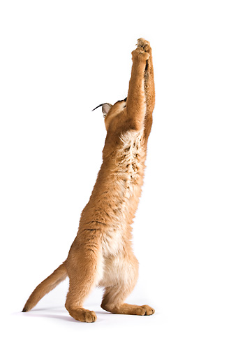 WLD 26 MH0001 01 © Kimball Stock Caracal Jumping Up On White Seamless
