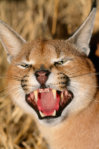 WLD 26 MH0004 01 © Kimball Stock Head Shot Of Caracal Standing On Savanna Baring Teeth