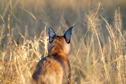 WLD 26 MH0005 01 © Kimball Stock Back View Of Caracal Standing On Savanna Africa