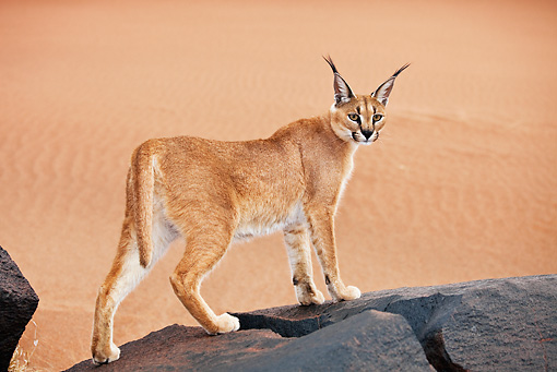 WLD 26 MH0007 01 © Kimball Stock Caracal Standing On Rock Namibia
