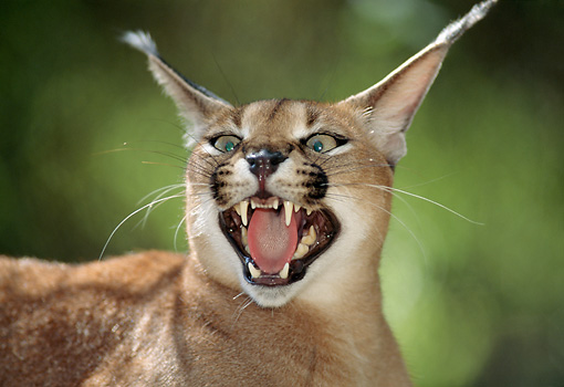 WLD 26 TK0001 01 © Kimball Stock Head Shot Of Caracal Snarling