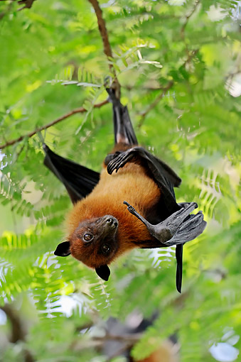 WLD 27 AC0001 01 © Kimball Stock Indian Flying Fox (Also Called Greater Indian Fruit Bat) Hanging From Tree In Uttar Pradesh, India