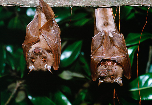 WLD 27 BA0001 01 © Kimball Stock Two Wahlberg's Epauletted Fruit Bats Hanging From Branch