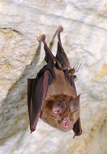WLD 27 GL0003 01 © Kimball Stock Greater Horseshoe Bat Hanging From Cave Wall