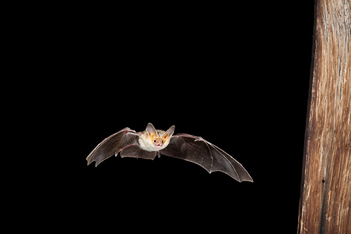 WLD 27 MC0001 01 © Kimball Stock Pallid Bat Flying At Night Arizona