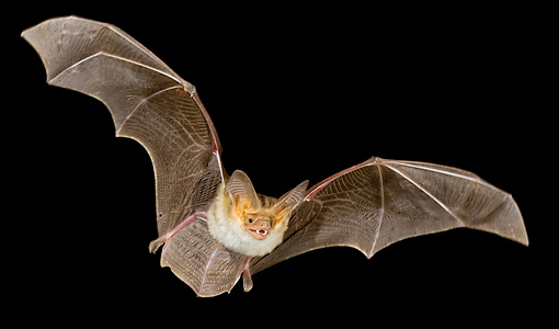 WLD 27 MC0002 01 © Kimball Stock Pallid Bat Flying At Night Arizona
