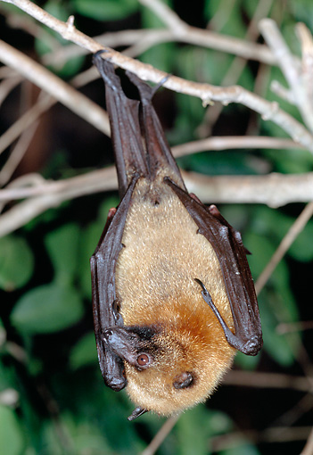 WLD 27 MH0002 01 © Kimball Stock Madagascan Flying Fox Hanging From Tree Branch Madagascar