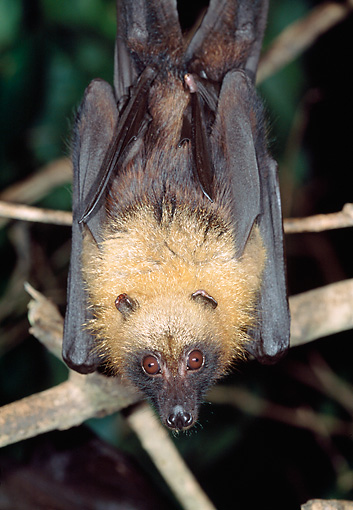 WLD 27 MH0003 01 © Kimball Stock Madagascan Flying Fox Hanging From Tree Branch Madagascar