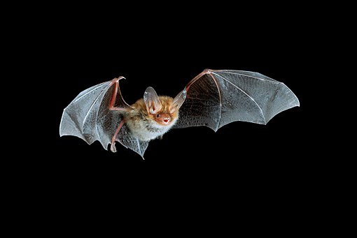 WLD 27 WF0005 01 © Kimball Stock Bechstein's Bat Flying At Night