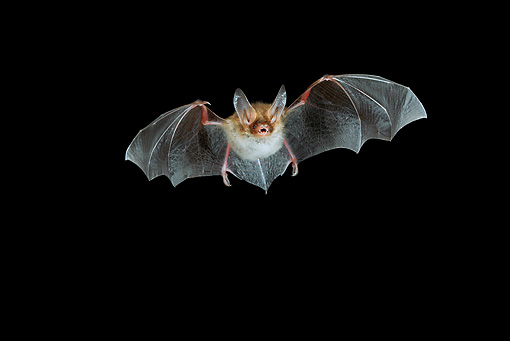 WLD 27 WF0007 01 © Kimball Stock Bechstein's Bat Flying At Night