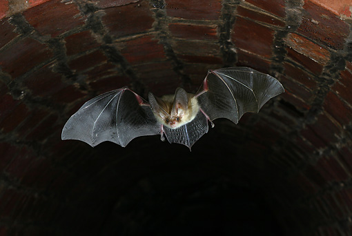 WLD 27 WF0008 01 © Kimball Stock Brown Long-Eared Bat In Flight In Underground Shelter