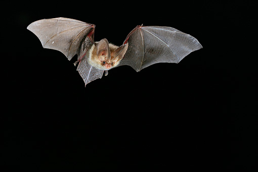WLD 27 WF0009 01 © Kimball Stock Brown Long-Eared Bat In Flight In Dark