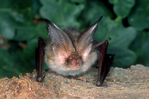 WLD 27 WF0010 01 © Kimball Stock Portrait Of Young Brown Long-Eared Bat Sitting On Bark