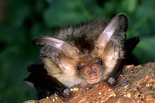 WLD 27 WF0011 01 © Kimball Stock Portrait Of Young Brown Long-Eared Bat Sitting On Bark
