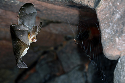 WLD 27 WF0012 01 © Kimball Stock Brown Long-Eared Bat Hunting Spider In Underground Shelter