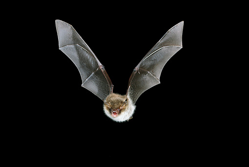 WLD 27 WF0013 01 © Kimball Stock Natterer's Bat Flying In Dark