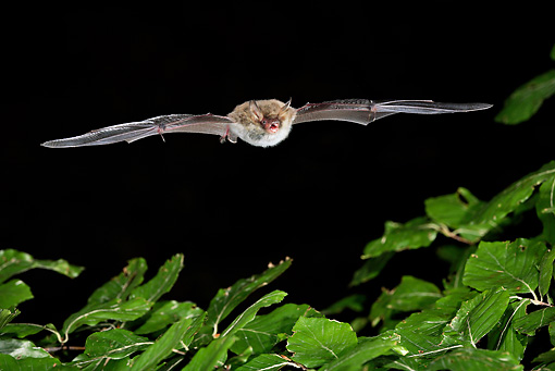 WLD 27 WF0014 01 © Kimball Stock Natterer's Bat Flying Over Beech Tree In Dark