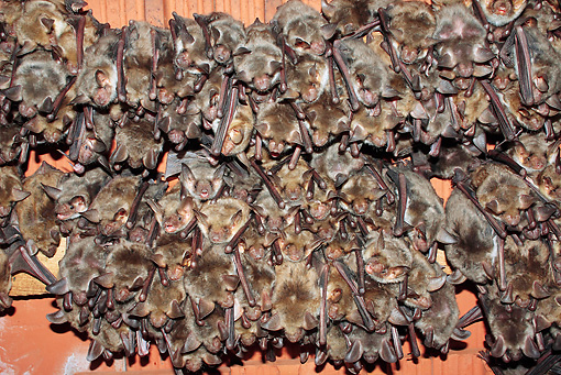 WLD 27 WF0019 01 © Kimball Stock Greater Mouse-Eared Bat Females With Gray Juveniles In Breeding Colony