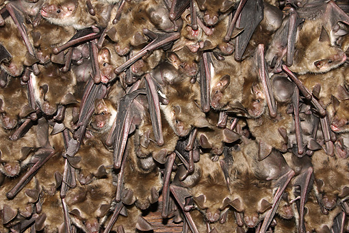 WLD 27 WF0020 01 © Kimball Stock Greater Mouse-Eared Bat Females Young Under Wings In Breeding Colony
