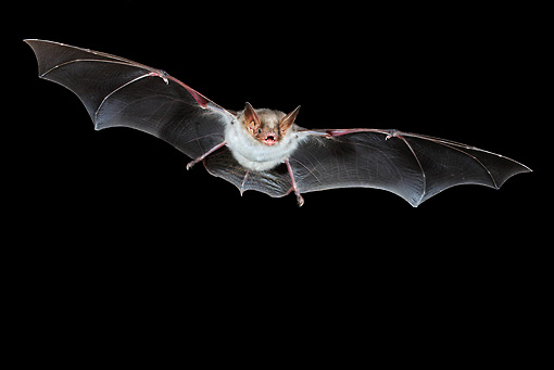 WLD 27 WF0021 01 © Kimball Stock Greater Mouse-Eared Bat Flying At Night