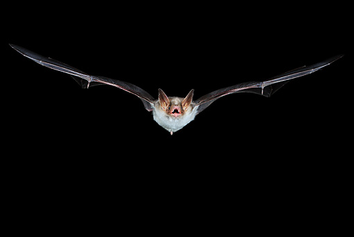 WLD 27 WF0022 01 © Kimball Stock Greater Mouse-Eared Bat Flying At Night