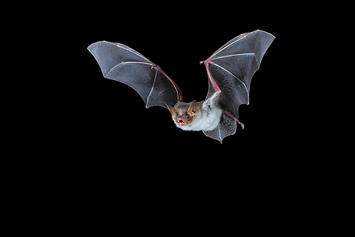 WLD 27 WF0023 01 © Kimball Stock Greater Mouse-Eared Bat Flying At Night