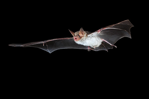 WLD 27 WF0024 01 © Kimball Stock Greater Mouse-Eared Bat Flying At Night