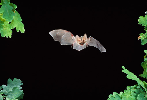 WLD 27 WF0025 01 © Kimball Stock Brown Long-Eared Bat Flying In Night Sky