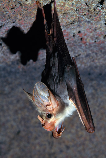 WLD 27 KH0001 01 © Kimball Stock Ghost Bat Hanging From Cave Roof