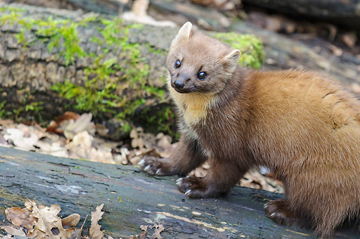 WLD 28 AC0002 01 © Kimball Stock European Pine Marten (Also Called Pineten, Baum Marten, Or Sweet Marten) Young Walking On Log