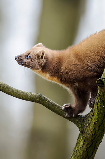 WLD 28 AC0003 01 © Kimball Stock European Pine Marten (Also Called Pineten, Baum Marten, Or Sweet Marten) Young Walking On Tree