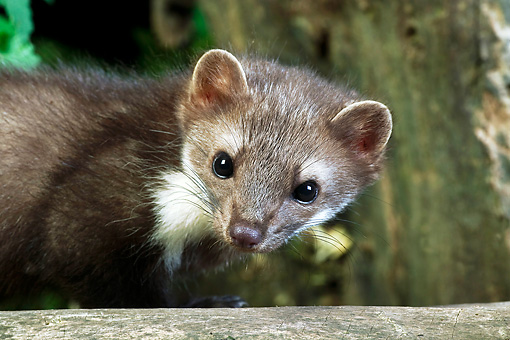 WLD 28 GL0002 01 © Kimball Stock Portrait Of Beech Marten By Log Normandy