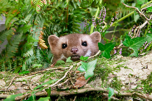 WLD 28 GL0003 01 © Kimball Stock Portrait Of Beech Marten Hiding In Vegetation Normandy