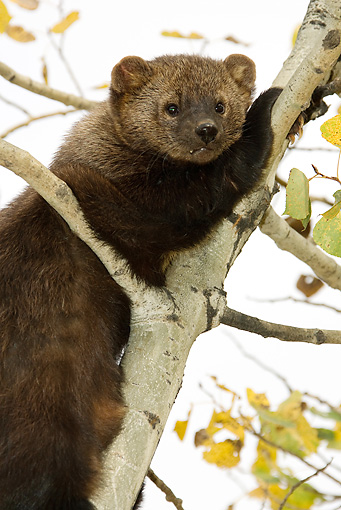 WLD 28 MC0001 01 © Kimball Stock Portrait Of Pine Marten Climbing Tree