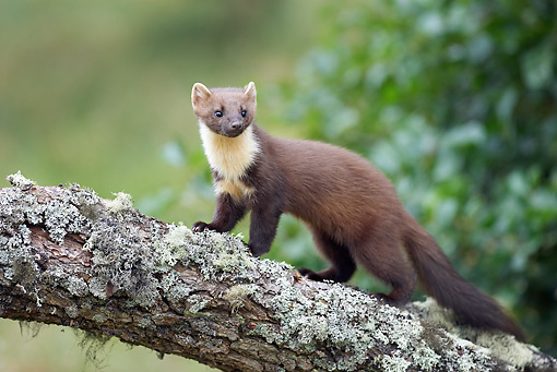 WLD 28 WF0002 01 © Kimball Stock Young European Pine Marten Standing On Tree Branch