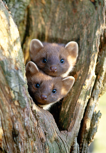 WLD 28 WF0005 01 © Kimball Stock Portrait Of Two Young European Pine Martens In Tree Nest
