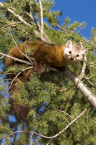 WLD 28 NE0001 01 © Kimball Stock American Marten Sitting On Pine Tree Branch