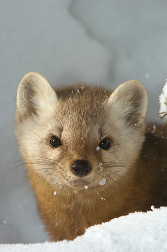 WLD 28 NE0002 01 © Kimball Stock Head Shot Of American Marten In Snow