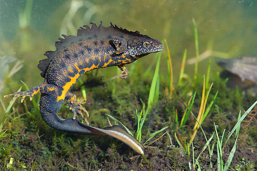 WLD 29 AC0001 01 © Kimball Stock Great Crested Newt Swimming, Lower Saxony, Germany