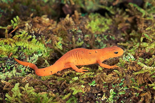 WLD 29 TK0001 01 © Kimball Stock Red-Spotted Newt Sitting On Moss