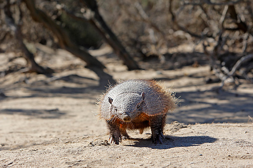 WLD 30 WF0001 01 © Kimball Stock Larger Hairy Armadillo Walking On Sand