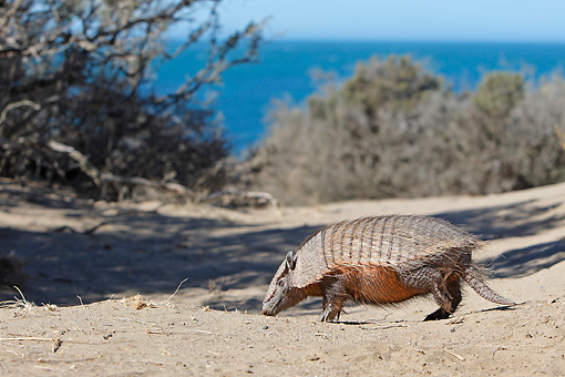WLD 30 WF0002 01 © Kimball Stock Larger Hairy Armadillo Standing On Sand With Coast In Background