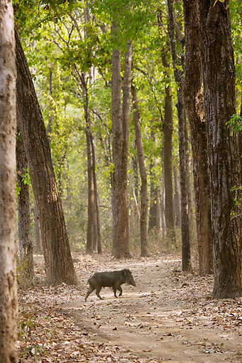 WLD 31 MC0001 01 © Kimball Stock Indian Wild Boar Walking Through Kanha National Park In Madhya Pradesh, India