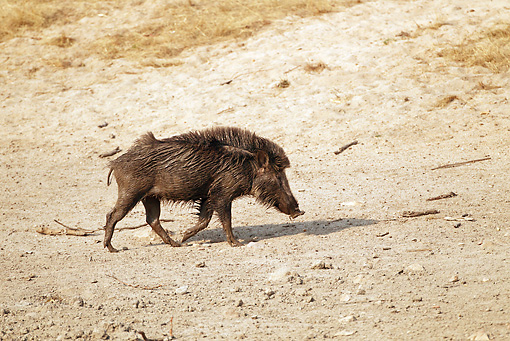 WLD 31 MC0002 01 © Kimball Stock Indian Wild Boar Walking Through Bandhavgarh National Park In Madhya Pradesh, India