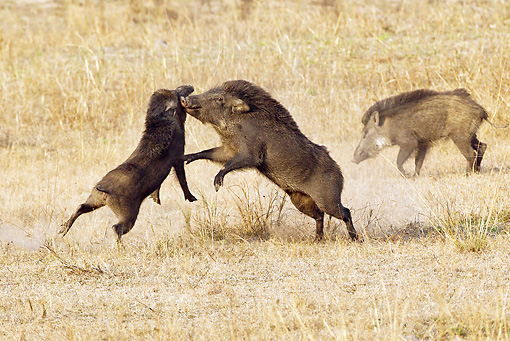 WLD 31 MC0003 01 © Kimball Stock Indian Wild Boars Fighting Bandhavgarh National Park In Madhya Pradesh, India
